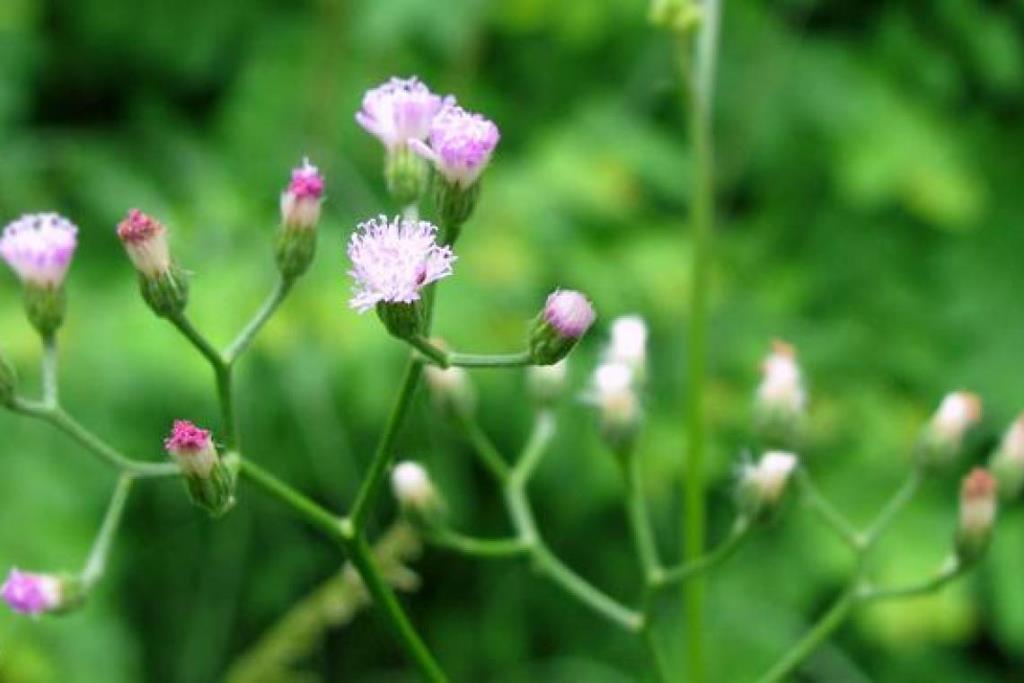 ชาชงหญ้าดอกขาว-เคี้ยวมะนาว ช่วยลดอยากบุหรี่