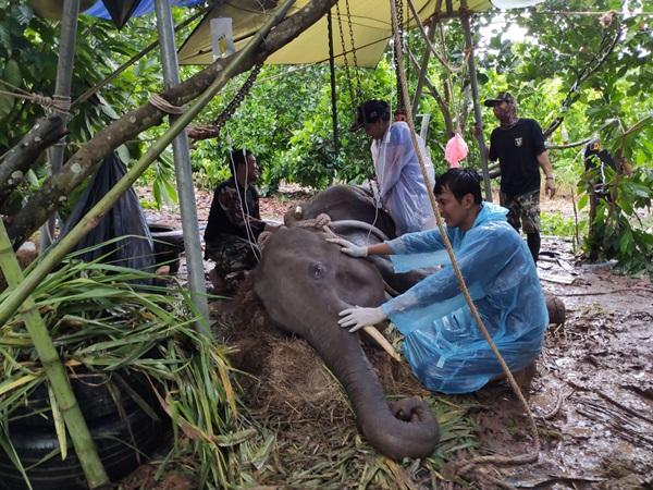 สุดยื้อน้องช้างป่ากุยบุรี ล้มแล้ว
