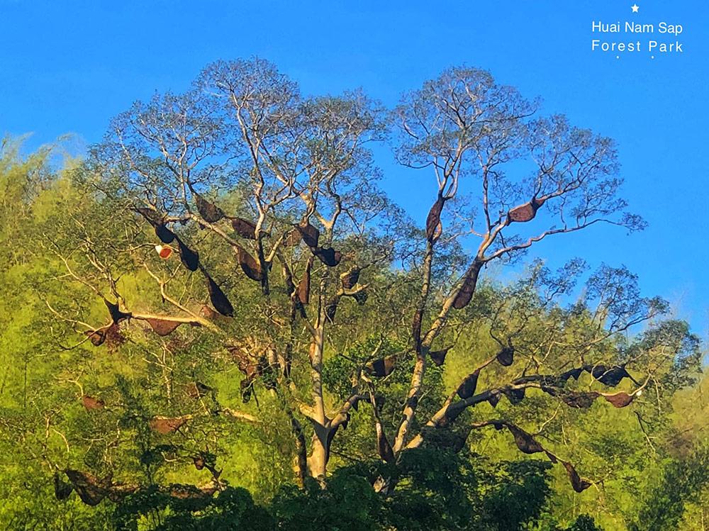 ผึ้งป่าจำนวนมากมาทำรังที่ต้นยวนยักษ์ วนอุทยานห้วยน้ำซับ (ภาพ เพจ : วนอุทยานห้วยน้ำซับ)