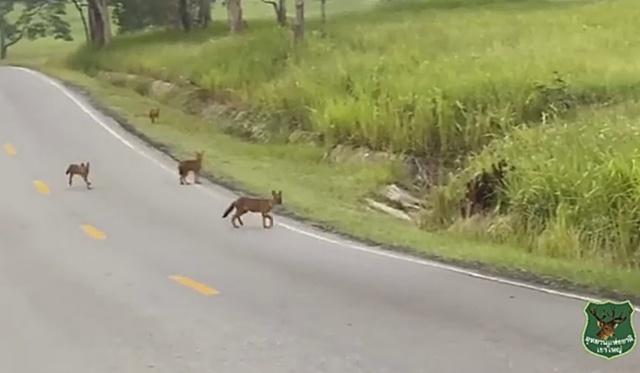 ปิดอุทยานฯ หมาในวิ่งไล่หมาจิ้งจอก กลางถนนอุทยานแห่งชาติเขาใหญ่