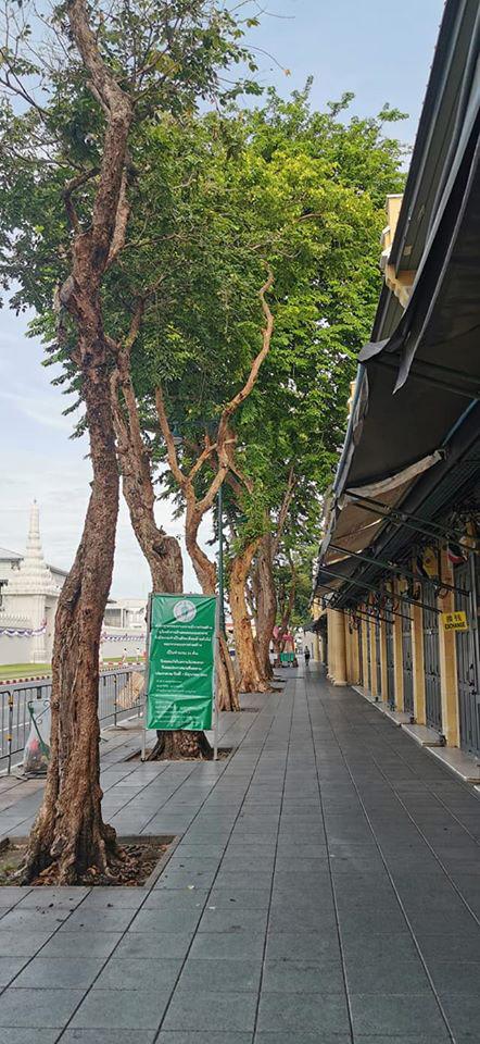 แนวต้นไม้ริมฟุตปาทถนนหน้าพระลานที่จะถูกล้อมย้ายไปสะพานพุทธ  (ภาพ : จากเพจ Chedha Tingsanchali)
