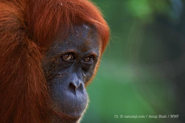 เครดิตภาพ: ? naturepl.com / Anup Shah / WWF