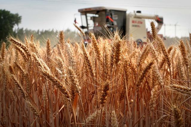 เกษตรจีนไม่หยุดนิ่ง ปลูก-เก็บเกี่ยว 'ข้าวสาลีข้ามฤดูหนาว' แล้ว 70 ล้านไร่