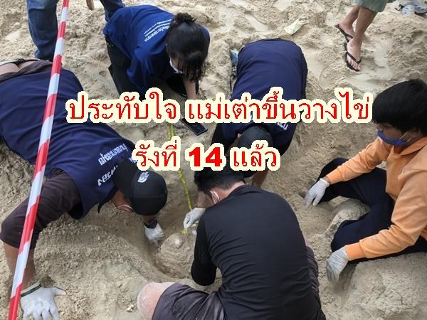 ชาวบ้านสุดประทับใจเต่าทะเลทยอยขึ้นวางไข่บนชายหาดรังที่14