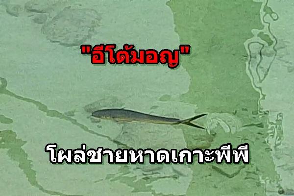 """ตื่นเต้น! """"อีโต้มอญ"""" ปลาทะเลลึก โผล่ชายหาดเกาะพีพี คาดช่วงโควิด-19 ระบาด ทะเลสงบ กล้าหากินถึงชายฝั่ง"""
