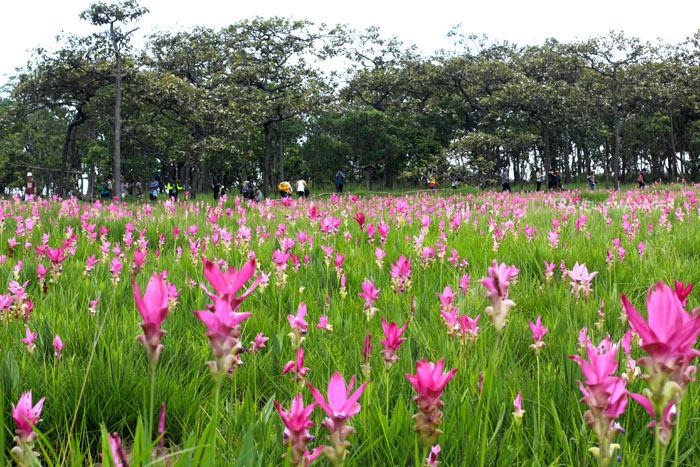 หลายคนกำลังรอชมดอกกระเจียวบาน (แฟ้มภาพ)