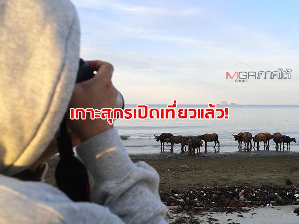 """""""เกาะสุกร"""" เปิดเที่ยวแล้ว! ชวนชมพระอาทิตย์ขึ้น-ตก ฝูงควายลงเล่นน้ำทะเลแห่งเดียวในไทย"""