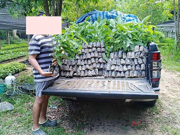 กำนันป่าพะยอมเดินหน้าตรวจสอบศูนย์เพาะชำกล้าไม้ ล่าสุดพบแอบนำไปขายให้เอกชน