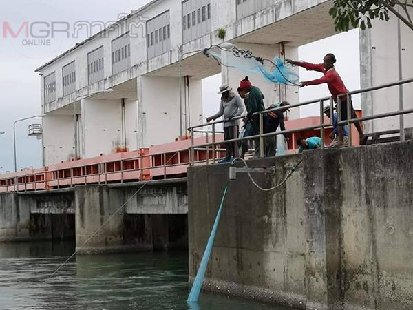 กรมชลฯ เปิดประตูระบายน้ำส่งผลน้ำเค็มปะทะน้ำจืดทำปลาลอยหัวอื้อ ชาวบ้านแห่จับสร้างรายได้