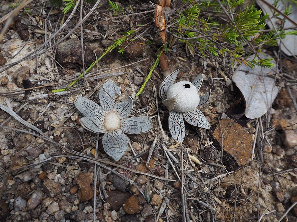 เห็ดเผาะฝ้าย (Astraeus asiaticus C. Phosri et al.) — ที่ อุทยานแห่งชาติเขาพระวิหาร