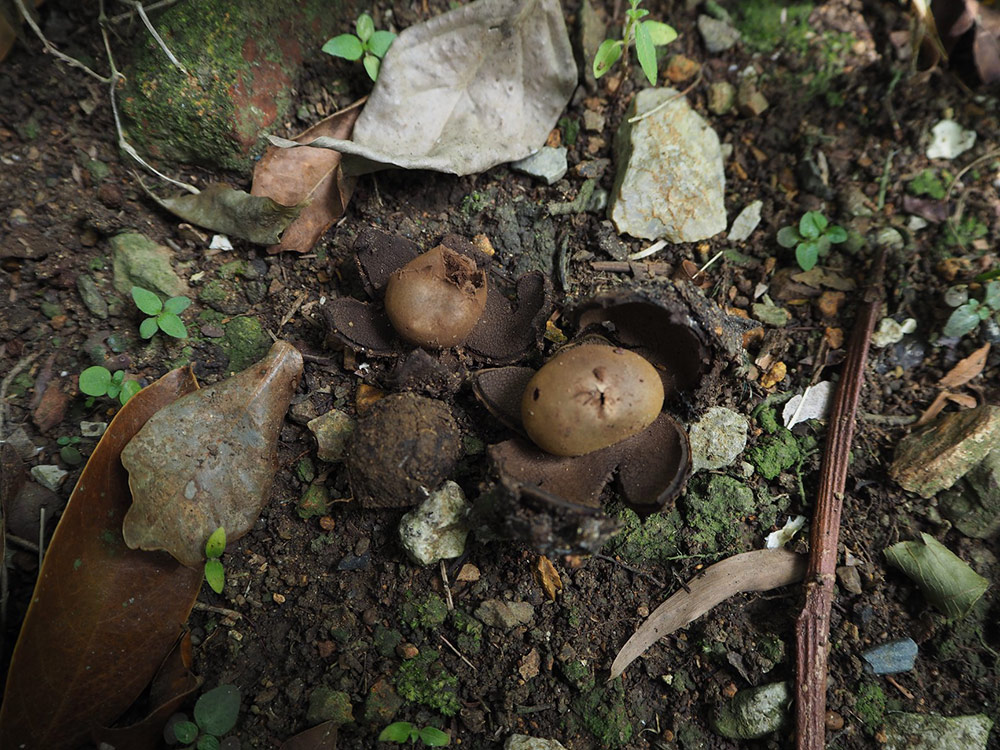 เห็ดเผาะหนัง (A. odoratus C. Phosir et al.) — ที่ เขตรักษาพันธุ์สัตว์ป่าเขาสอยดาว