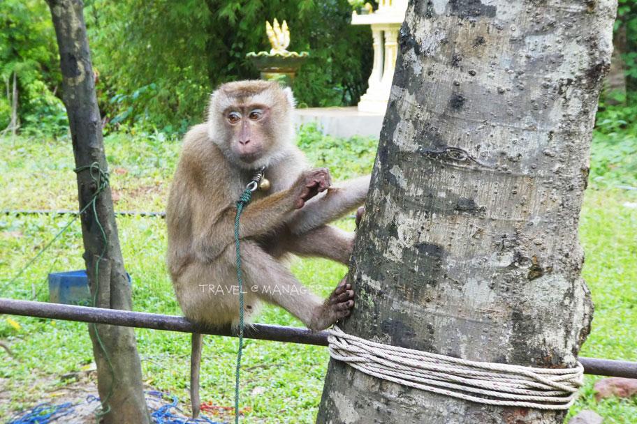 """""""ลิงเก็บมะพร้าว"""" นั้นถือเป็นอีกหนึ่งภูมิปัญญาดั้งเดิมของคนไทย"""