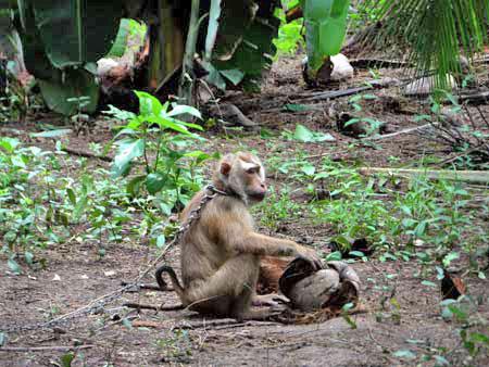 พณ.นัดถกปมลิงเก็บมะพร้าว 8 ก.ค.