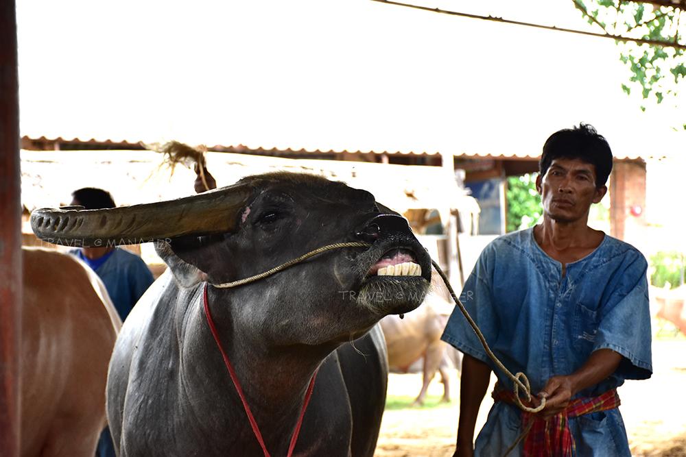 ควายยิ้มโชว์ที่หมู่บ้านอนุรักษ์ควายไทย