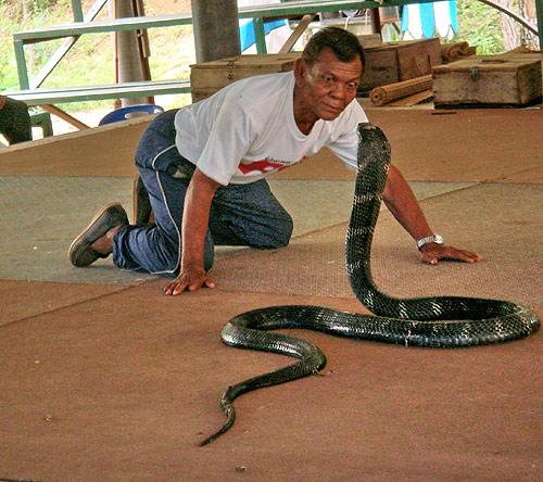 หมองูจ้องตากับงูจงอาง (ภาพ: การท่องเที่ยวแห่งประเทศไทย สำนักงานจังหวัดขอนแก่น)