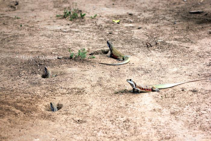 ธรรมชาติแย้อาศัยอยู่ในรูบนพื้นดิน
