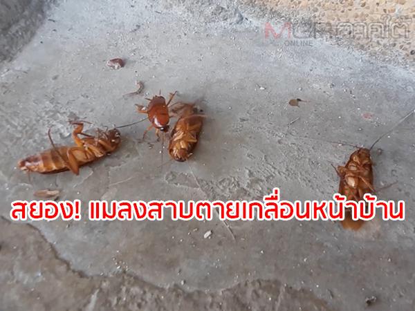 สยอง! พบแมลงสาบนับร้อยนอนตายเกลื่อนหน้าบ้านของชาวบ้านเมืองหาดใหญ่