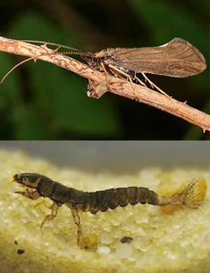แมลงหนอนปลอกน้ำ บน : ตัวเต็มวัย,ล่าง : ช่วงเป็นตัวหนอน (ภาพ : บทความวิชาการ หนอนปลอกน้ำ แมลงนิรนาม โดย : อนันต์ สกุลกิม คณะวิทยาศาสตร์และเทคโนโลยี มหาวิทยาลัยราชภัฏบ้านสมเด็จเจ้าพระยา)