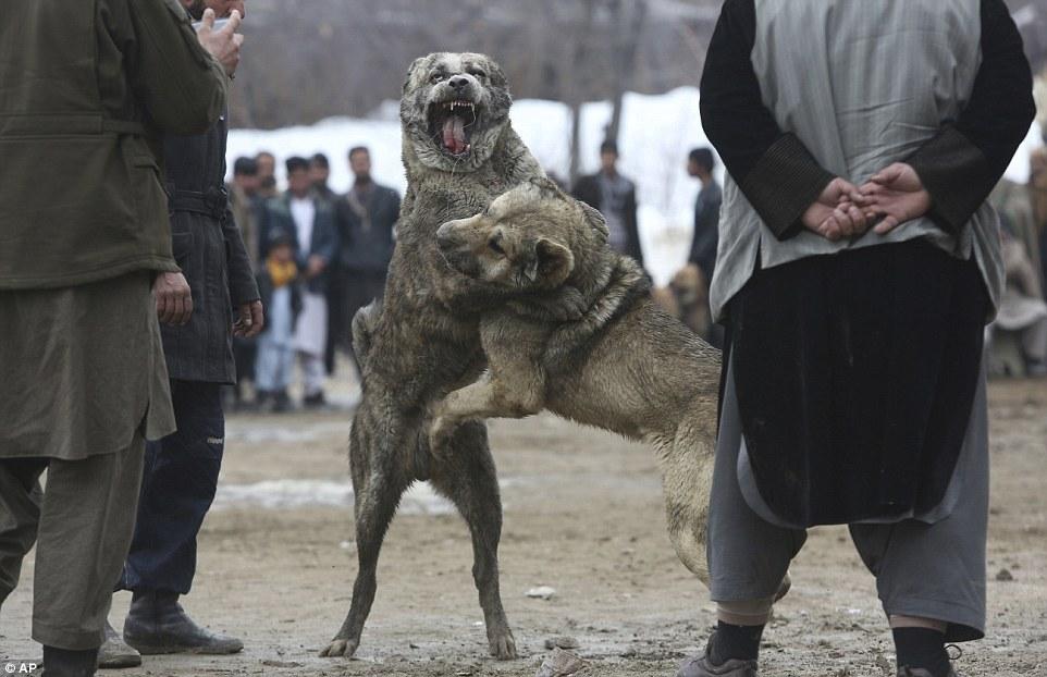 ประเพณีชนสุนัขในอัฟกานิสถาน ถูกนำกลับมาจัดการแข่งขันอีกครั้ง (สำนักข่าวเอพี)