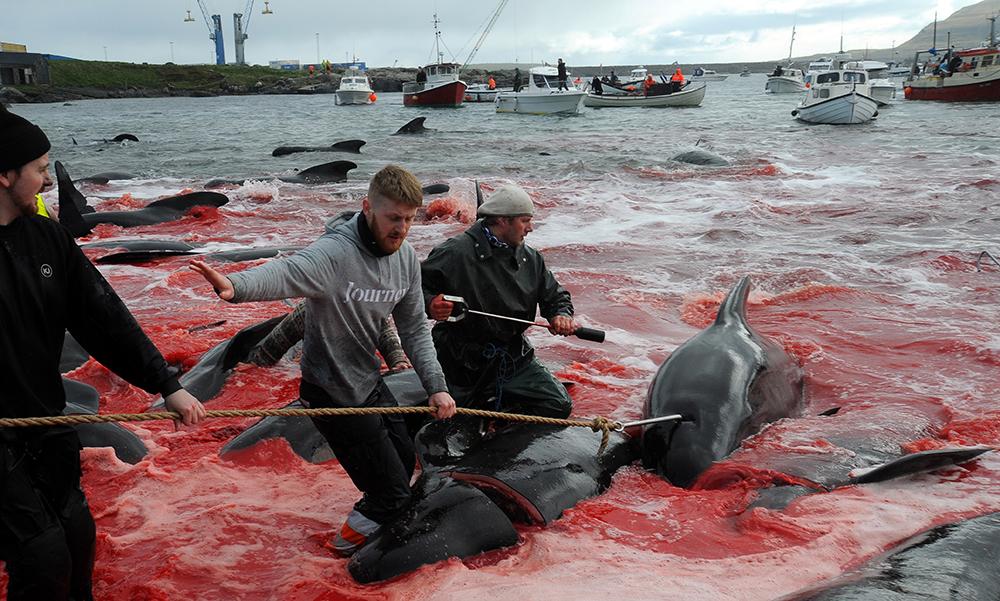 ชาวประมงที่หมู่เกาะแฟโร ออกล่าวาฬ-โลมา จำนวนนับร้อยตัวมาฆ่าริมชายหาดจนน้ำทะเลเป็นสีเลือด