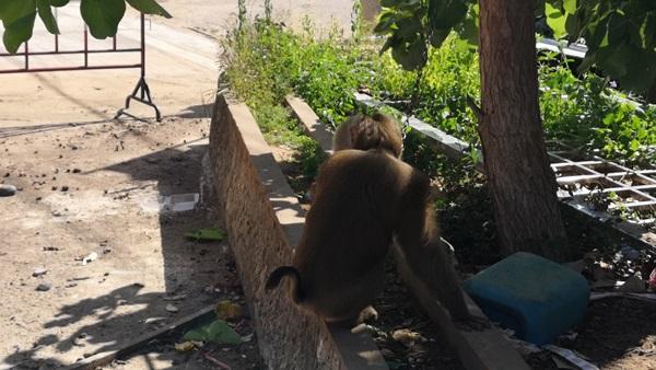 ลิงกังเก็บมะพร้าวเปลี่ยนอาชีพ หันมาเฝ้าศาลากลางจังหวัดประจวบฯ แทน