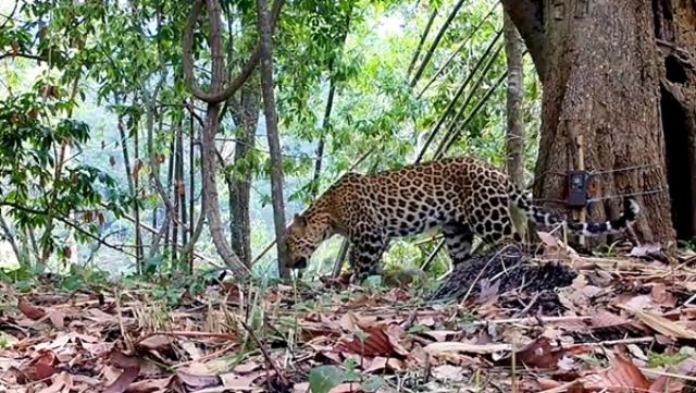 """หาดูยาก! เผยภาพ""""เสือดาว-เสือดำ"""" อวดโฉมหน้ากล้องพร้อมกันกลางผืนป่าคลองลาน"""