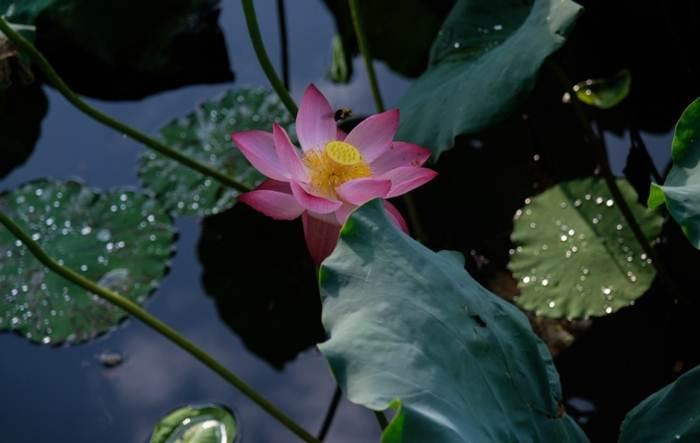 ดอกบัวบานรับฤดูร้อนที่ทะเลสาบซีหู เมืองหังโจว มณฑลเจ้อเจียง ภาพเมื่อวันที่ 7 ก.ค.2020  (เครดิตภาพ ซินหัว)