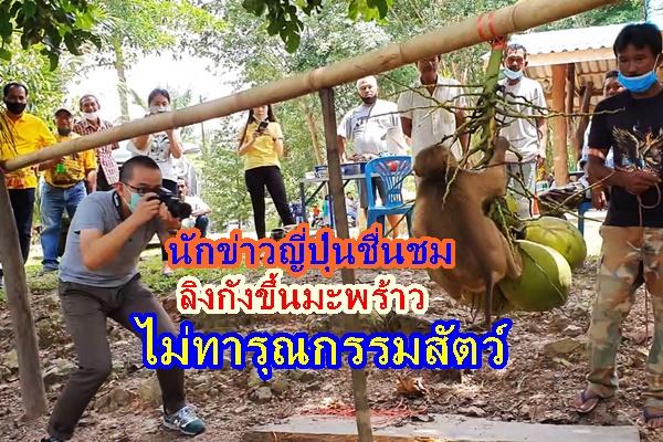 สำนักข่าวเกียวโด บุกพิสูจน์ลิงกังขึ้นมะพร้าวชื่นชมไม่ใชการทารุณกรรม