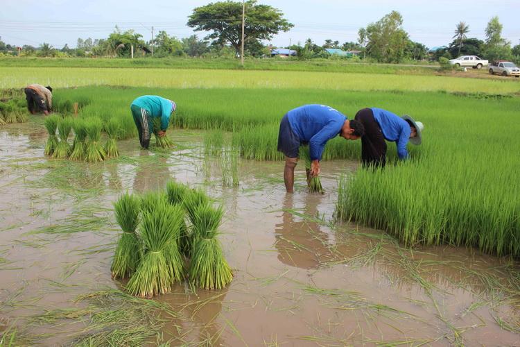 ชาวนาเมืองน้ำดำดีใจรายได้เพิ่มหลังศูนย์เมล็ดพันธุ์ข้าวฯเพิ่มโควตารับซื้อเมล็ดพันธุ์