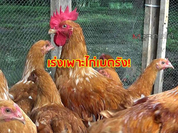 """วิทยาลัยเกษตรฯ เร่งผลิตไก่สายพันธุ์ใหม่ """"ไก่เบตรัง"""" จำหน่ายให้เกษตรกรผู้สนใจ"""