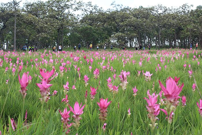 ที่อุทยานแห่งชาติไทรทองก็เป็นอีกจุดชมดอกกระเจียว