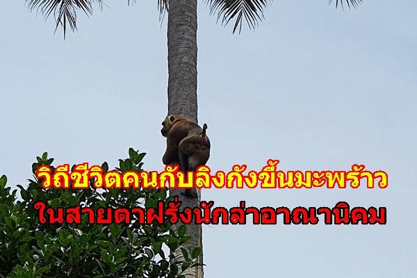 วิถีชีวิตคนกับลิงกังขึ้นมะพร้าว...ในสายตาฝรั่งนักล่าอาณานิคม