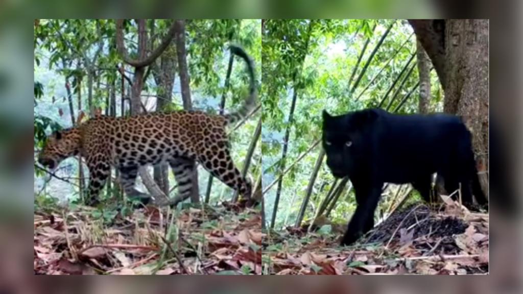 อุทยานอวดโฉม เสือดาว-เสือดำ แห่งคลองลาน ชาวเน็ตแห่อวยพรขอให้ปลอดภัยอยู่คู่ผืนป่าไทยไปนานๆ (ชมคลิป)