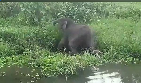 """ลูกช้างป่าห้วยขาแข้ง แม่ยังไม่มาหา! ปรับกลยุทธ์ """"กลับคืนป่าต้องปลอดภัย"""""""