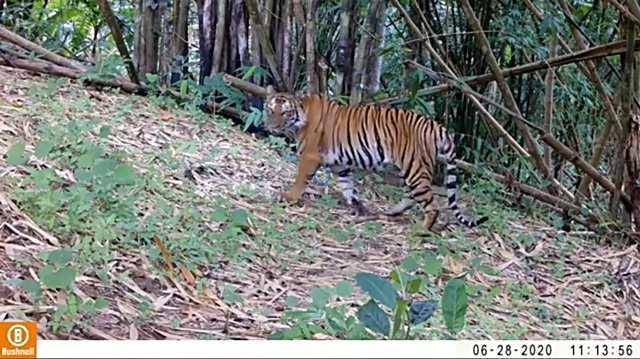 จ้าวป่ามาแล้ว!! เสือโคร่ง โผล่ให้เห็น ย้ำถึงผืนป่าคลองลานเป็นถิ่นอาศัยถาวร