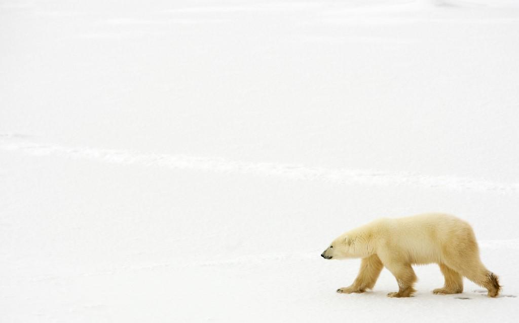 การเปลี่ยนแปลงภูมิอากาศทำให้หมีขาวหาอาหารได้น้อยลง นั้นส่งผลต่อพลังงานสะสมที่ใช้ในการจำศีลและอยู่รอดในช่วงฤดูหนาว (Paul J. RICHARDS / AFP )