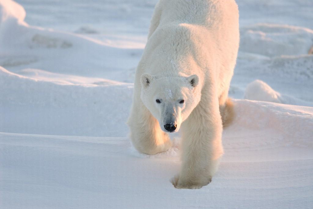 ภาพหมีขาวในแคนาดา (BJ Kirschhoffer / POLAR BEARS INTERNATIONAL / AFP)