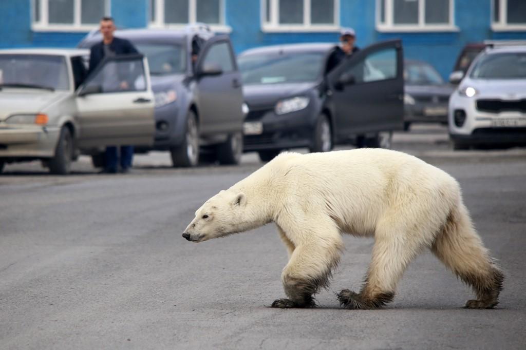 ภาพหมีขาวกลางถนนในรัสเซีย - (Irina Yarinskaya / Zapolyarnaya pravda newspaper / AFP)
