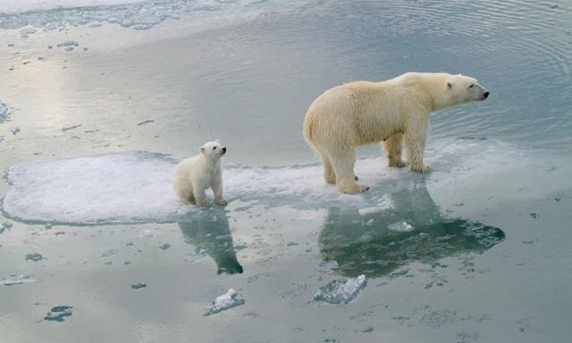 หมีขาวขั้วโลก สุ่มเสี่ยงจะสูญพันธุ์!! ภายในปี 2100