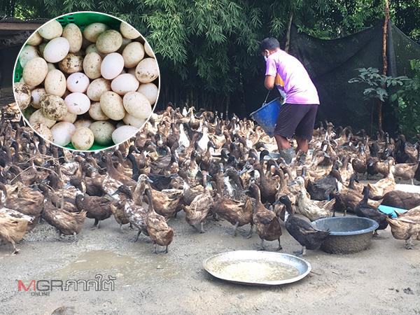 ชาวสตูลเลี้ยงเป็ดไข่ริมคลองมำบังสู้ภัยโควิด-19 สู่เครือข่ายแหล่งเรียนรู้ชุมชน