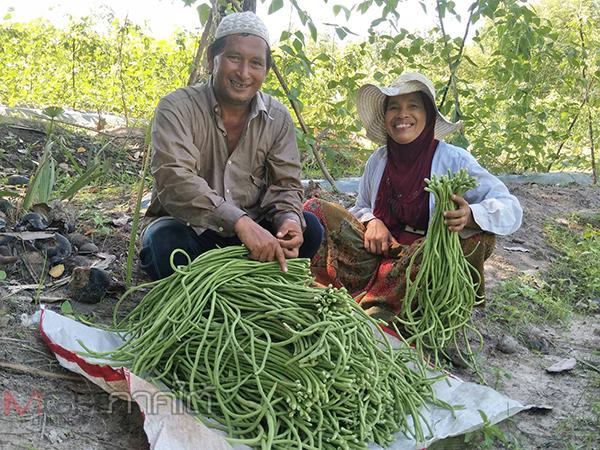 เกษตรกรปลูกพืชหลังนามีเฮ! เก็บผลผลิตถั่วฝักยาววันแรกสร้างรายได้เลี้ยงครอบครัวอย่างงาม