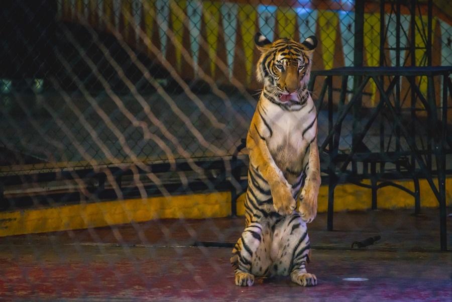 เสือไม่ใช่แมว...10 เหตุผลที่ไม่ควรเลี้ยงเสือในกรง