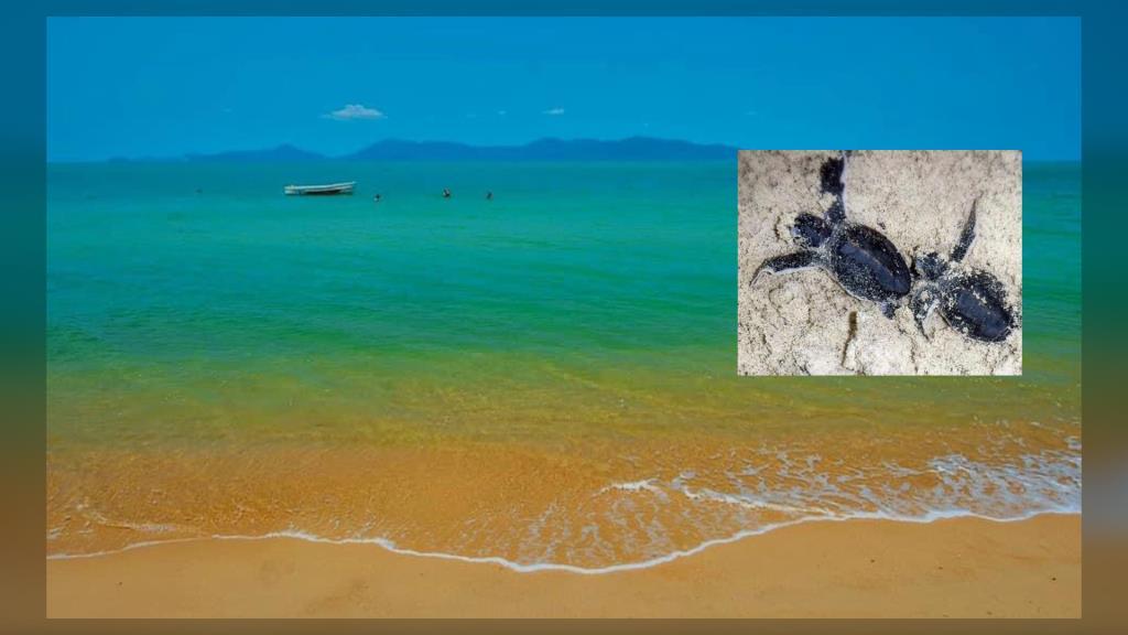 """ดร.ธรณ์ เผย """"สมุยเกาะแห่งเต่า"""" 6 เดือนลูกเต่าเกิดใหม่ รวม 2,800 ตัว วอน ปชช.ช่วยกันรักษาชายหาด"""