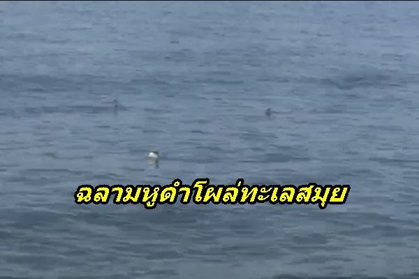 ฝูงฉลามหูดำ กลับมาว่ายน้ำโอดโฉมให้ตื่นเต้นกันอีกครั้ง เมื่อทะเลและธรรมชาติสมุยฟื้นตัว