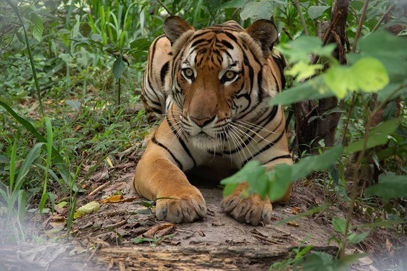 """ข่าวดี! ไทยมีประชากรเสือโคร่งเพิ่มขึ้น รับ """"วันเสือโคร่งโลก"""" 29 ก.ค."""