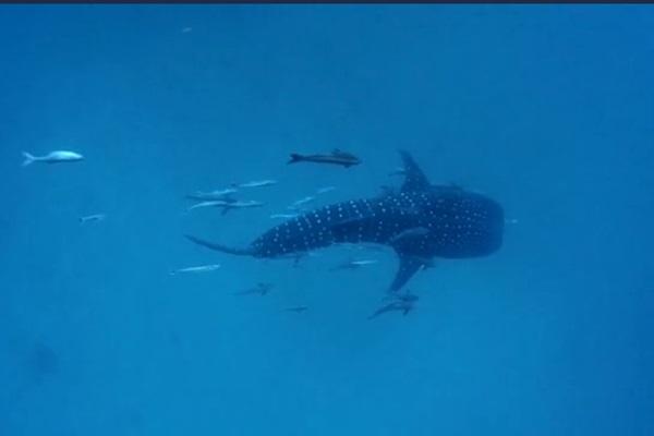 ปะการังเทียม-ปลานานาชนิดสมบูรณ์ที่จุดจมเรือหลวงเกล็ดแก้ว หน้าถ้ำไวกิ้ง เกาะพีพี