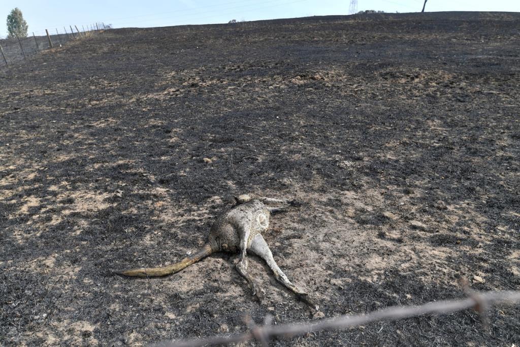นักวิทย์ประเมินไฟป่าออสเตรเลียทำสัตว์ตาย 3 พันล้านตัว