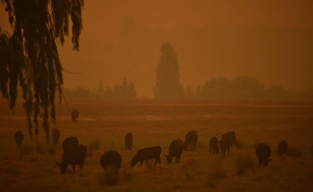 ฝูงปศุสัตว์เล็มหญ้าท่ามกลางหมอกควันจากไฟป่าที่เปลี่ยนสีท้องฟ้าเป็นสีแดง (AFP / Peter Parks)