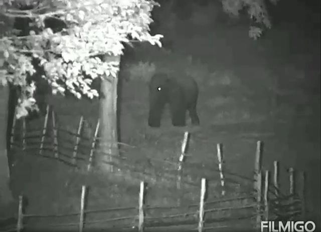 'น้ำพุ' ช้างสีดอบุกเดี่ยวสองคืนซ้อน ประชิดคอกลูกช้างป่าห้วยขาแข้งที่พลัดหลงแม่