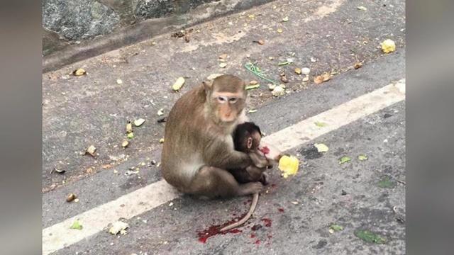 เตือนนักท่องเที่ยว! ขับขี่รถรอบเขาสามมุขอย่างระมัดระวัง หลังพบเคสลูกลิงเสียชีวิตคาที่